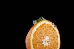 Grenouille d'arbre blanche du ` s Image libre de droits
