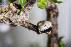 Grenouille d'arbre cireuse images libres de droits