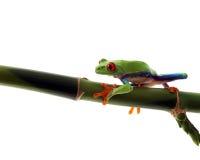 Grenouille d'arbre curieuse images libres de droits