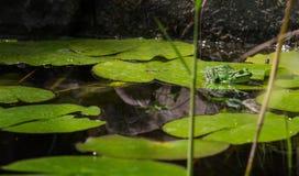 Grenouille d'arbre dans l'étang Photo libre de droits