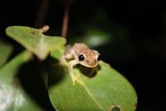 Grenouille d'arbre de Madagascan Images stock