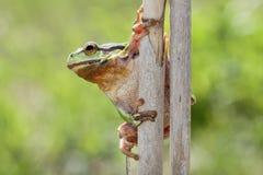 Grenouille d'arbre européenne sur la canne, Slovénie Image stock