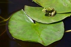Grenouille d'arbre méditerranéenne ou grenouille d'arbre stripeless Images stock