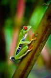 Grenouille d'arbre observée par rouge de feuille de Costa Rica Photo stock