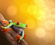 Grenouille d'arbre observée par rouge tropical Costa Rica Photographie stock libre de droits