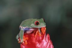 Grenouille d'arbre observée rouge Photo libre de droits
