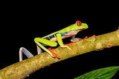 Grenouille d'arbre Red-eyed Photo stock