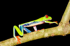 Grenouille d'arbre Red-eyed Images stock