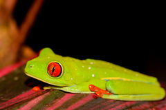 Grenouille d'arbre Red-eyed Image stock