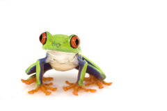 Grenouille d'arbre Red-eyed (callidryas d'Agalychnis) photographie stock