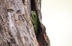 Grenouille d'arbre se cachant dans l'écorce d'arbre, la Géorgie photos libres de droits
