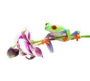 Grenouille d'arbre sur l'orchidée Photographie stock