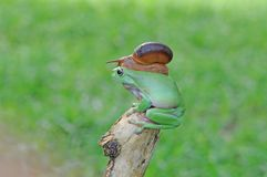 Grenouille d'arbre trapue image stock