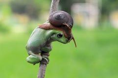 Grenouille d'arbre trapue Image libre de droits