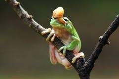 Grenouille d'arbre trapue Photos libres de droits