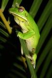 Grenouille d'arbre verte Image libre de droits