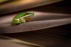 Grenouille d'arbre verte Images libres de droits