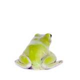 Grenouille d'arbre verte australienne sur le fond blanc Photo stock