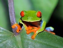 Grenouille d'arbre verte observée rouge curieuse, Costa Rica Photo stock