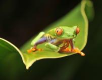 Grenouille d'arbre verte observée rouge curieuse regardant l'appareil-photo Photos libres de droits