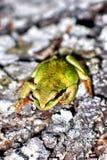 Grenouille d'arbre verte sur l'écorce à feuilles persistantes Photo stock