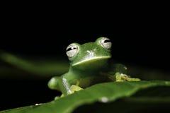 grenouille d'arbre verte sur l'amphibie d'animal d'Amazone de lame Image stock