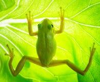 Grenouille d'arbre verte sur la feuille Images libres de droits