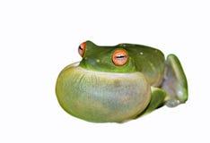 grenouille d'arbre verte sur le blanc   Image stock