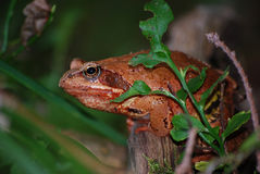 Grenouille d'herbe de grenouille Image stock