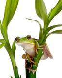 Grenouille d'isolement sur le bambou Photographie stock