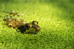 Grenouille d'or d'oeil émergeant de la lenticule sur la surface de l'étang image stock