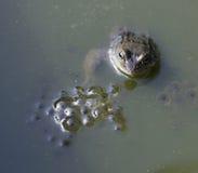 Grenouille dans l'étang à côté du frai de grenouille Photographie stock