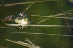 Grenouille dans l'étang Image stock