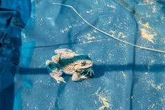 Grenouille dans l'étang Photos stock
