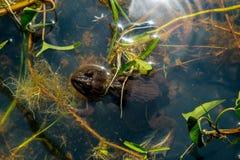 Grenouille dans l'étang Images stock
