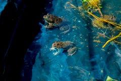 Grenouille dans l'étang Image libre de droits