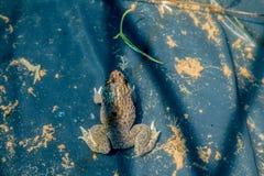 Grenouille dans l'étang Photo libre de droits