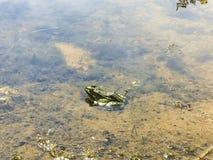 Grenouille dans l'eau photos stock