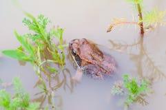 Grenouille dans l'eau Photo libre de droits