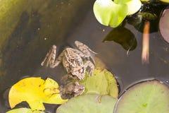 Grenouille dans l'eau Photos libres de droits