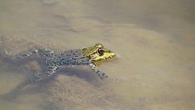 Grenouille dans l'eau Photographie stock