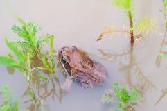 Grenouille dans l'eau d'étang Photos stock