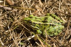 Grenouille dans l'herbe Images stock