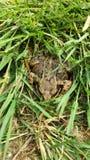 Grenouille dans l'herbe Photographie stock libre de droits