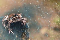 Grenouille dans la forêt tropicale Image libre de droits