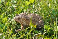 Grenouille dans la grenouille d'herbe image libre de droits