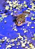 Grenouille dans le lac, photographe de observation Image stock
