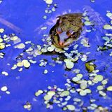 Grenouille dans le lac, photographe de observation Photos stock