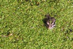 Grenouille dans le marais parmi des duckweeds Image libre de droits