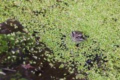 Grenouille dans le marais parmi des duckweeds Photo stock